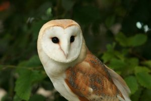 barn-owl-old-basset-cottage-holiday-accommodation-north-cornwall